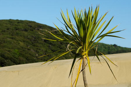 quicksand: Plant in Te Paki sand dunes in Northland New Zealand.