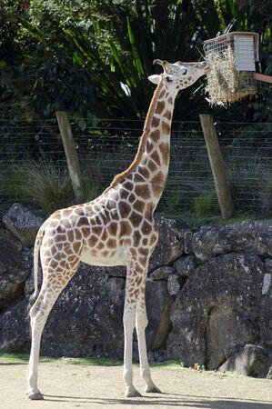 girafe: Young Girafe full body. Stock Photo