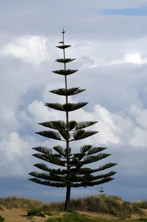 us sizes: Norfolk Pine Tree, New Zealand. Stock Photo