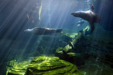 Sea Lions swims underwater.