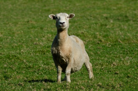 naivety: Mother sheep in a Sheep Farm in New Zealand.