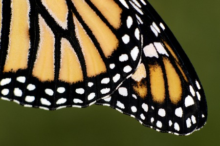 transfigure: Close up of Monarch Butterfly wings. Stock Photo