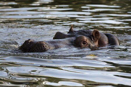 hippopotamus: Retrato del Hippopotamus.