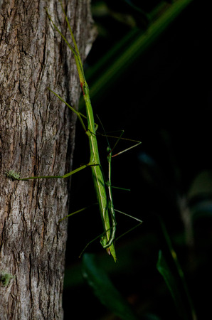 night stick: A male and female stick Insect (Clitarchus hookeri) are mating in the rain forest of New Zealand at night. Stock Photo