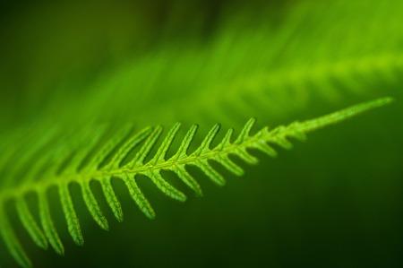 silver fern: Dicksonia Squarrosa New Zealand Fern.