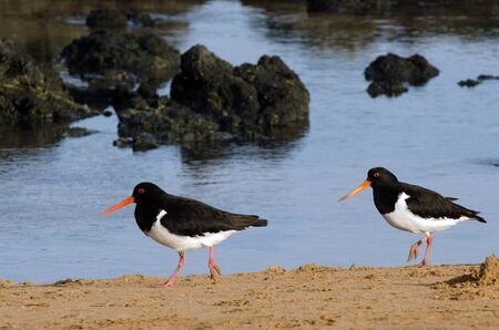 endangered species: CABLE BAY - NZ - JAN 25:Pied Oystercatcher in Cable bay on January 25 2013 in Northland NZ.Its listed as endangered species South Wales, Australia.