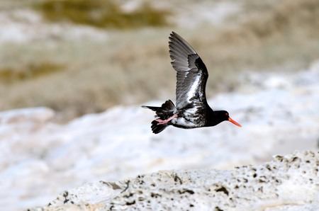 scilly: NORTHLAND - JAN 20:Pied Oystercatcher in Henderson bay on January 20 2013 in Northland NZ.Its listed as endangered species in New South Wales, Australia.