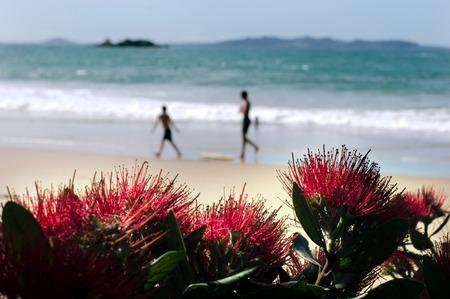 Red Pohutukawa flower (Metrosideros excelsa) blossom on December (summer season) in New Zealand.