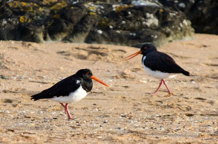 scilly: CABLE BAY - NZ - JAN 25:Pied Oystercatcher in Cable bay on January 25 2013 in Northland NZ.Its listed as endangered species South Wales, Australia.