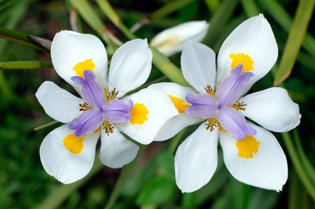 splotches: Originally from Kenya, eastern and South Africa, the fortnight lily, African or morea iris, are evergreen perennials. Oakhurst Hybrids have purple centers and yellow splotches on the petals.