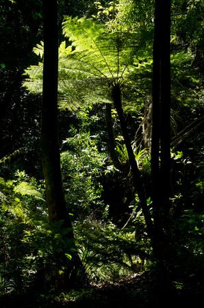 tropical native fern: The New Zealand tree fern (Panga).