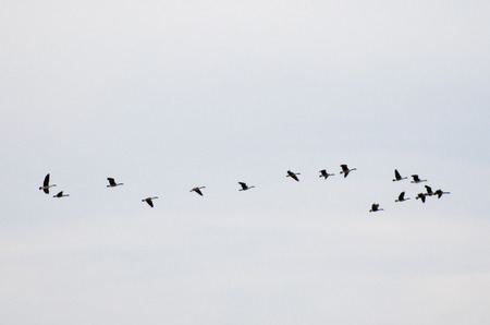 migrate: Geese migrate to the North hemisphere from New Zealand. Stock Photo