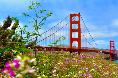 san francisco golden gate bridge: Flowers blussoome at the Golden Gate Bridge in San Francisco, CA.Frommers travel guide considers Golden Gate Bridge possibly the most beautiful, certainly the most photographed, bridge in the world.