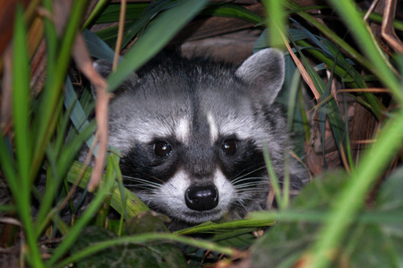 wetland conservation: Raccoon hide in the bush Stock Photo