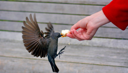 Brewers Blackbird eats bread from a hand of a woman in the park. Stock Photo