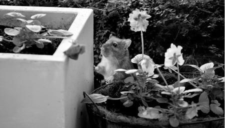 norvegicus: Rat looks for food in the home garden. (BW)