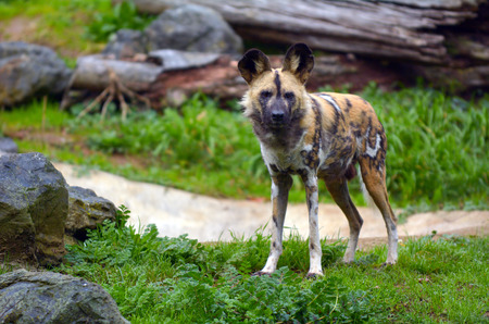 painted dog: Alert Painted Hunting Dog in Savannah (grasslands) looks at the camera. Endangered � less than 5000 survive in the wild