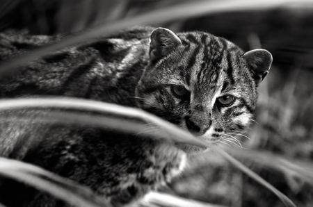 prionailurus: Fishing Cat (Prionailurus viverrinus ) portrait. looks at the camera (BW)