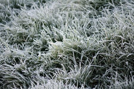 hoar: Crystals of hoar frost on leaves of green grass on a cold winter morning. Stock Photo