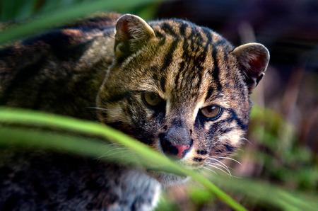 felid: Fishing Cat (Prionailurus viverrinus ) portrait. looks at the camera Stock Photo