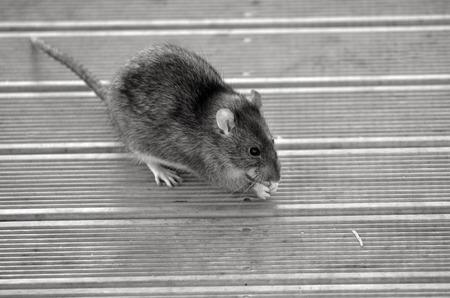 norvegicus: Rat eat food from the floor. (BW) Stock Photo