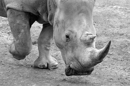 endangered: Portrait of a Southern White Rhinoceros walks (BW) critically endangered.