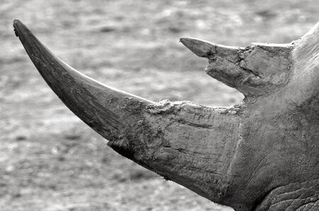 endangered: Southern White Rhinoceros horns. Close up details texture. (BW) critically endangered.