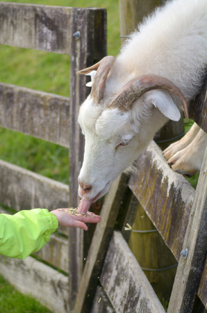 hircus: Child hand feed a white male Goat food in a Got farm.