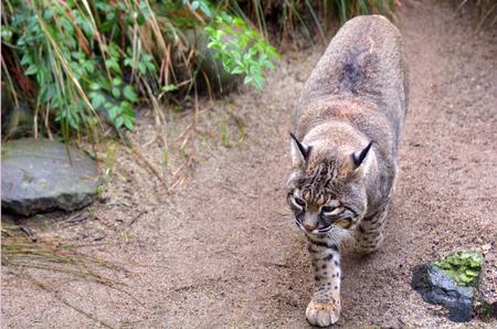 lince rojo: Activo Bobcat camina en territorio terrestre Norteam�rica arbusto.