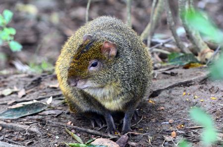 agouti: Agouti (Dasyprocta leporina) sit on South American rainforest ground. Stock Photo
