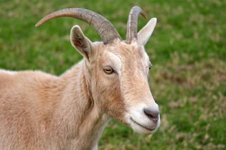 Portrait d'une chèvre mâle dans une ferme de chèvre. copie espace