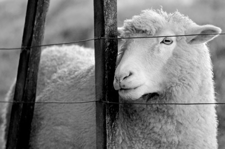 ovejas: Retrato de una oveja de pie detrás de una valla de una granja de ovejas. Mira hacia otro lado (BW) Foto de archivo