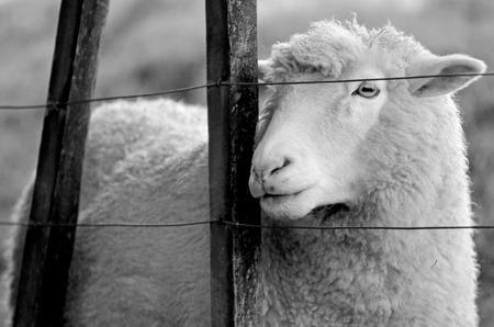 pecora: Ritratto di una pecora in piedi dietro un recinto di un allevamento di pecore. Sembra lontano (BW)