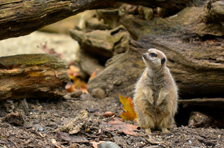 suricata: Alert Meerkat (Suricata suricatta) listen to ambient sound in Semi-arid plain. Stock Photo