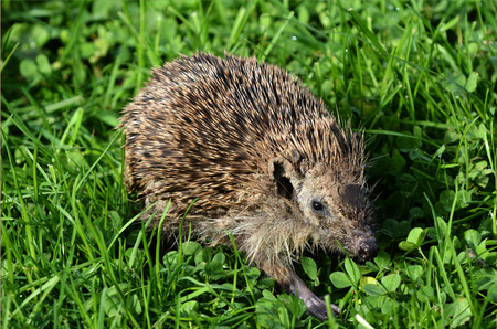 fatty liver: HAMILTON ,NZL - MAY 27 2015:Sick Hedgehog walks on green grass. Hedgehogs suffer many diseases common to humans, these include cancer, fatty liver disease and cardiovascular disease.