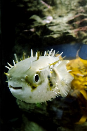 blowfish: Blow fish swim underwater in the ocean