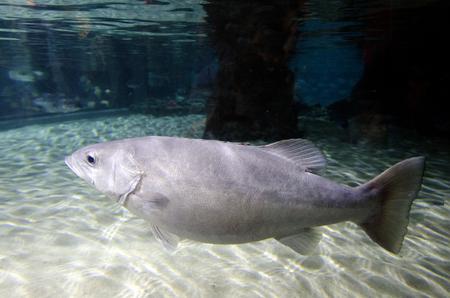 epinephelus: Giant grouper swim in an aquarium Stock Photo