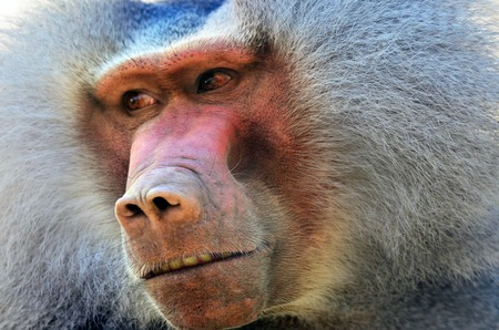 kisser: Hamadryas baboon face. (Close up)