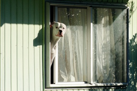 gardian: Amstaff dog looks out from a window.