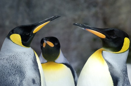 penguin colony: Three King Penguins in their natural inhabited. Stock Photo