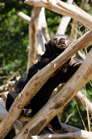 banter: Malayan sun bear rest on a tree.