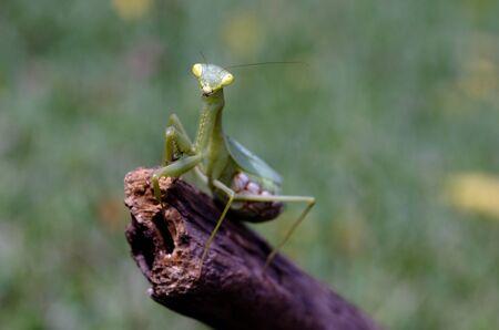 wooden stick: Female praying mantis on a wooden stick.