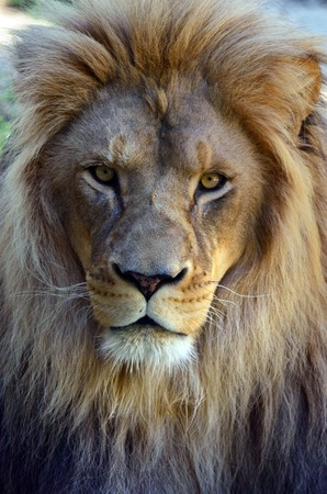 Lion face (front look close up) in it's natural environment.