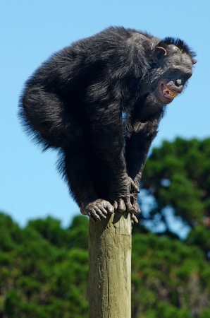 chimpanzee: An angry Chimpanzee male screaming.
