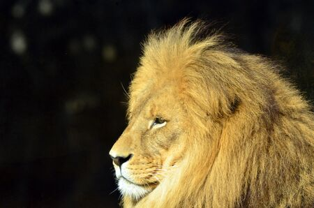 face side: Lion face (side look close up profile) in its natural environment.