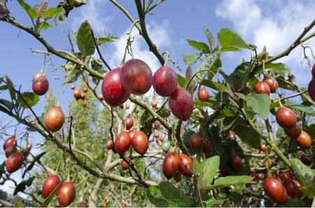 tamarillo: Tamarillo tree with fresh fruits growing in the garden Stock Photo
