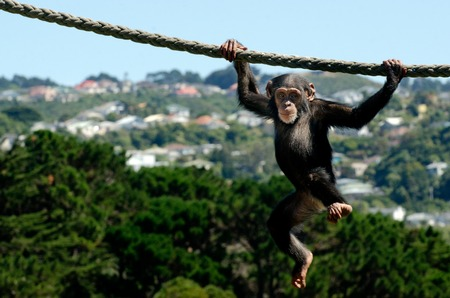 Cute and funny infant chimpanzee hangs on a rope.