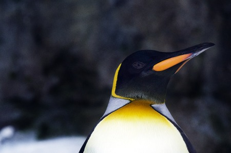 inhabited: King Penguin in its natural inhabited. Stock Photo