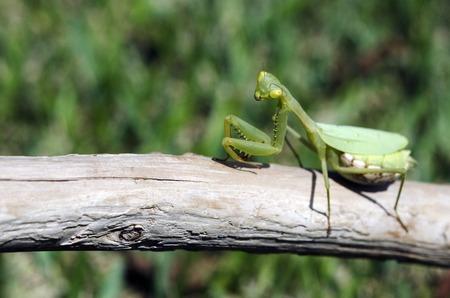 praying mantis: Female praying mantis on a wooden stick.