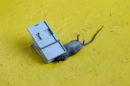 exterminating: Mouse caught in a Mousetrap.